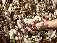 TREDY-fashion Online Magazin. Materialkunde. Baumwolle Plantage